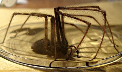Fiese, haarige Spinne