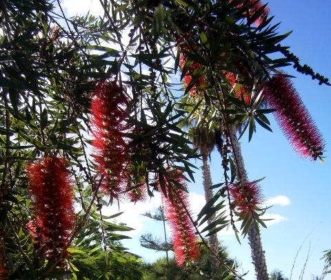 Der palmerische Spülbürstenbaum