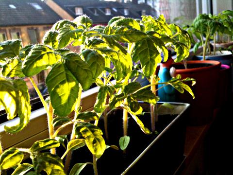 Thorstinger-Plantage auf der Fensterbank