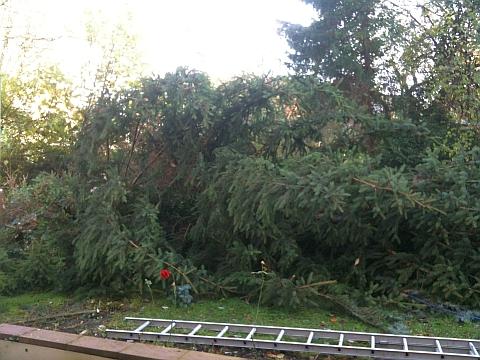 Tannenbaum im Garten