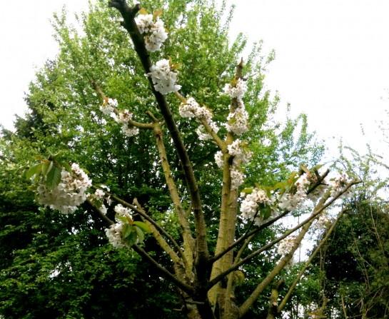 Der Kirschbaum trägt weiß