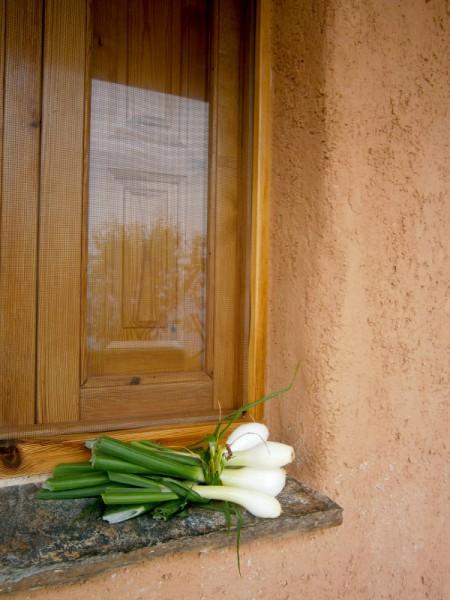 Lauchzwiebeln auf der Fensterbank
