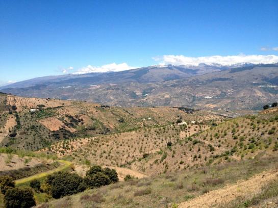 Olivenbäume in der Alpujarra