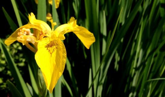 Gelbe Teichblume