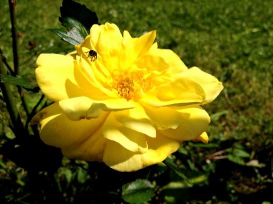 Die erste Rose blüht