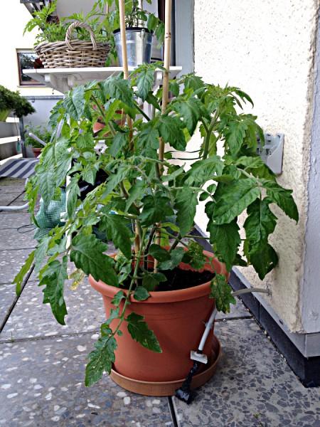 Tomatenpflanze im Juni