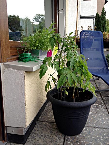 Tomatenpflanze Oxheart