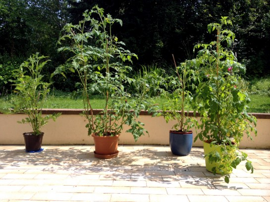 Vier Terrassentomaten
