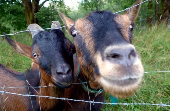 Neugierige Ziegen