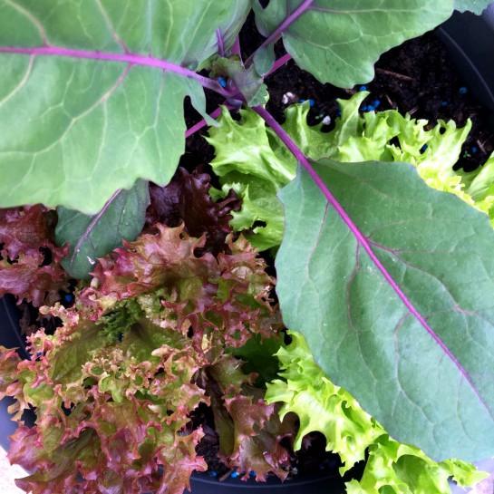 12von12 im Mai: Gemüsebesichtigung - Salat und Kohlrabi
