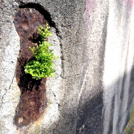 Dortmund-Schüren, Grünzeug, das aus einer Mauer wächst