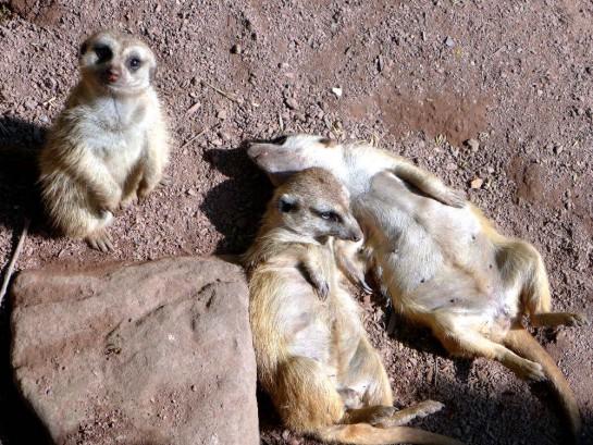 Tierpark Aachen: Drei tiefenentspannte Erdmännchen