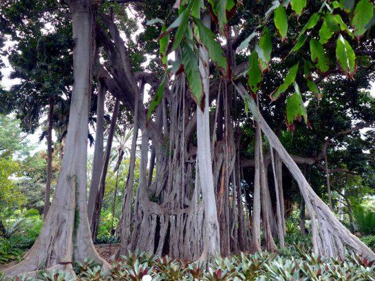 Teneriffa, Botanischer Garten. Würgefeige