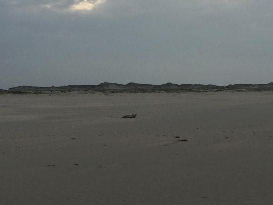 Robbe am Strand