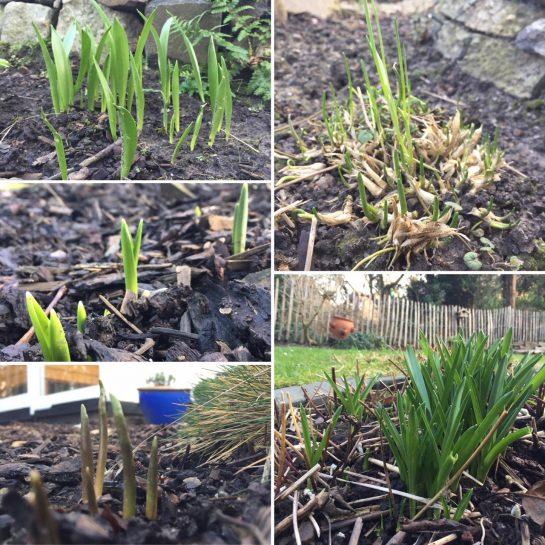 Garten im Januar: Lauter Grünzug kommt aus der Erde