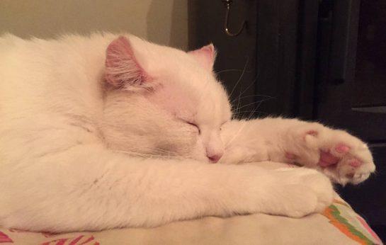 Schlafende weiße Katze