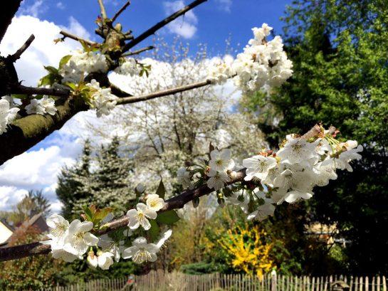 Kirschbaum: Ast mit Blütem vor blauem Himmel