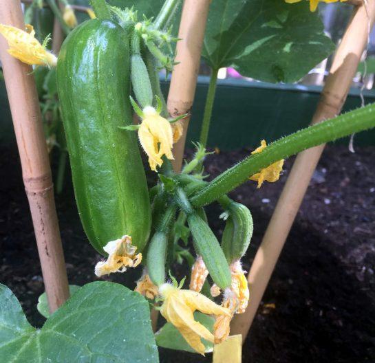 Kleine Gurke neben noch kleineren Gurkennachkömmlingen an der Pflanze