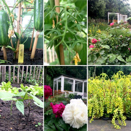 Sechs Bilder aus dem Garten: Gurken, Tomatenkinder, Rosen, Buschbohnen und Salat, Pfingstrosen und Golddingens