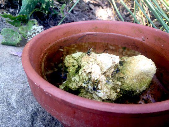 Insektentränke: Schale mit Wasser und einem Stein drin. Auf dem Stein: zwei Wespen