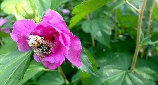Vollgestäubte Hummel an pinker Hibiskusblüte