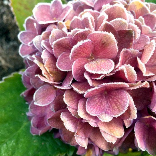 Kleine Eispartikel auf einer Blüte