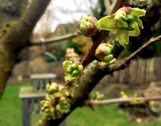Zweig im Kirschbaum mit Blütenknollen, Hintergrund verschwommen