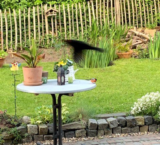 Dompfaff auf dem terrassentisch. Eine Amsel fliegt vorbei.