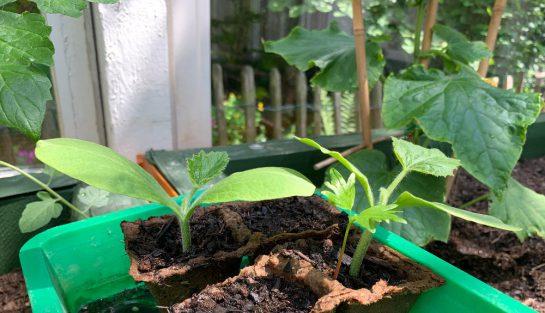 Kleine Kürbispflanzen