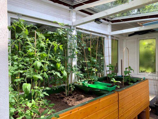 Gewächshaus mit Tomaten- und Gurkenpflanzen