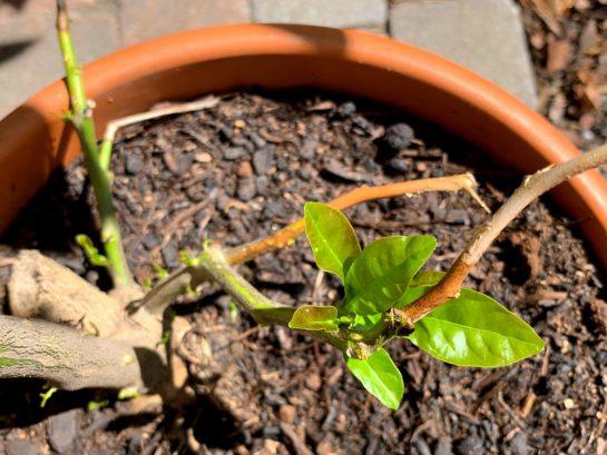 Zart sprießender Zitronenbaum