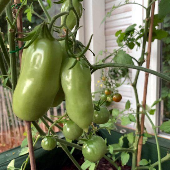 Tomaten, noch grün