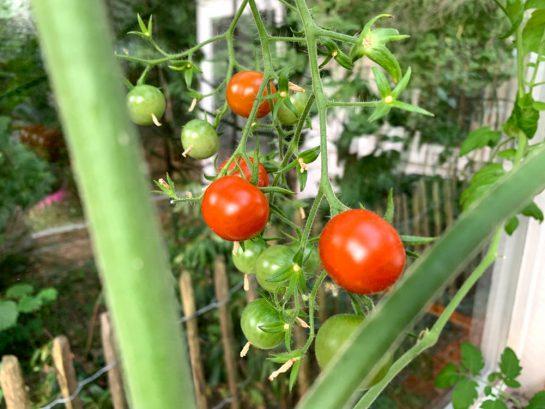 Rote und grüne TOmaten im Gewächshaus