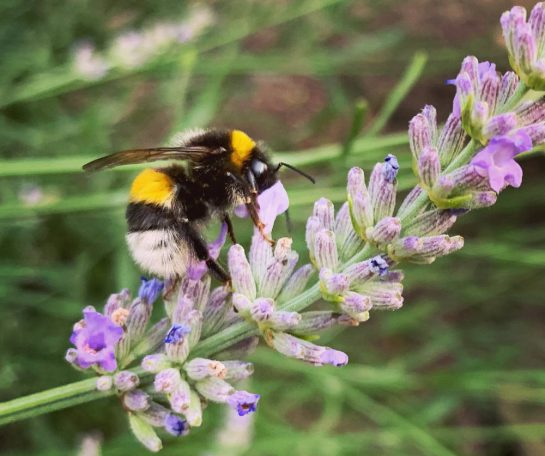 Hummeln an Lavendel, Großaufnahme