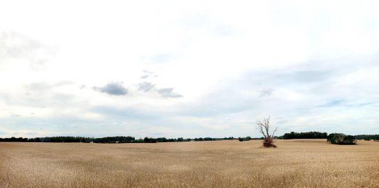 Kornfeld von links nach rechts bid zum Horizont, in der Mitte ein Baum