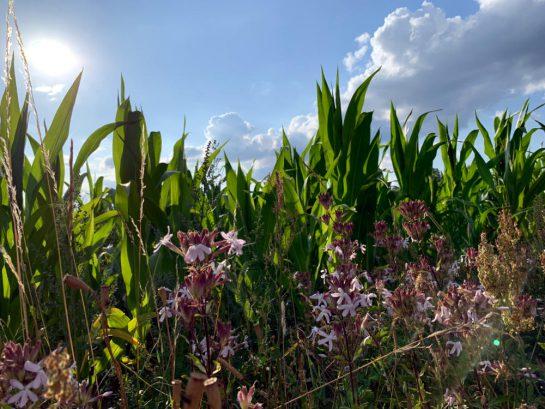 Maisfeld mit Blumen drin