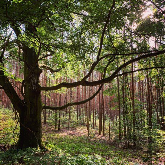 Alter Laubbaum inmitten von Nadelwald, verunschenes Licht