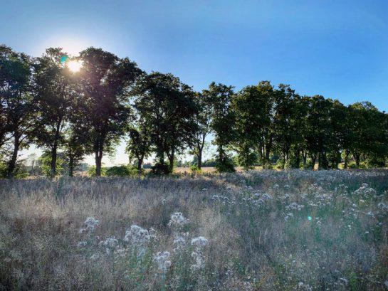 Abendsonner, die über Bäume hinwegscheint. Davor ein Feld mit wilden Pflanzen.