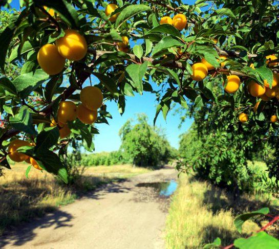 Ein Busch mit Mirabellen und ein staubiger Weg mit einer Pfütze