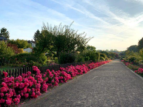 Ein Weg in einer Kleingartensiedlung, gesäumt von pinken Rosen