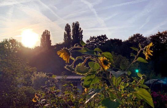 Verblühende Sonnenblumen im Gegenlicht der tiefstehenden Morgensonne
