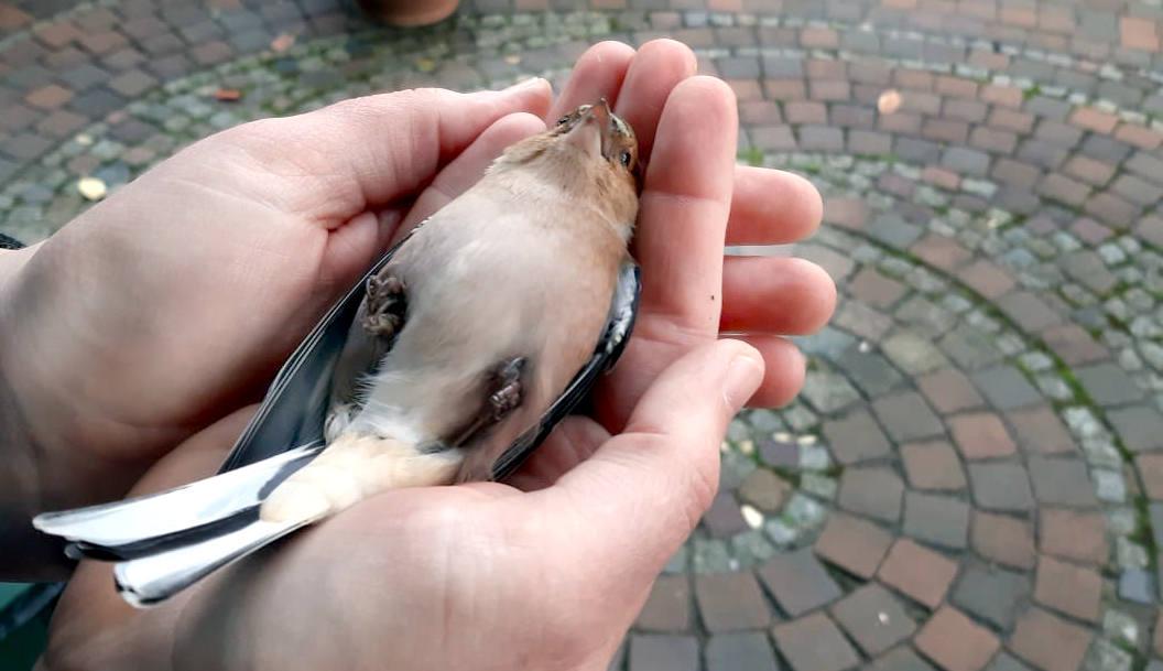 Kleiner Vogel liegt auf dem Rücken in meiner Hand, der Schnabel geöffnet