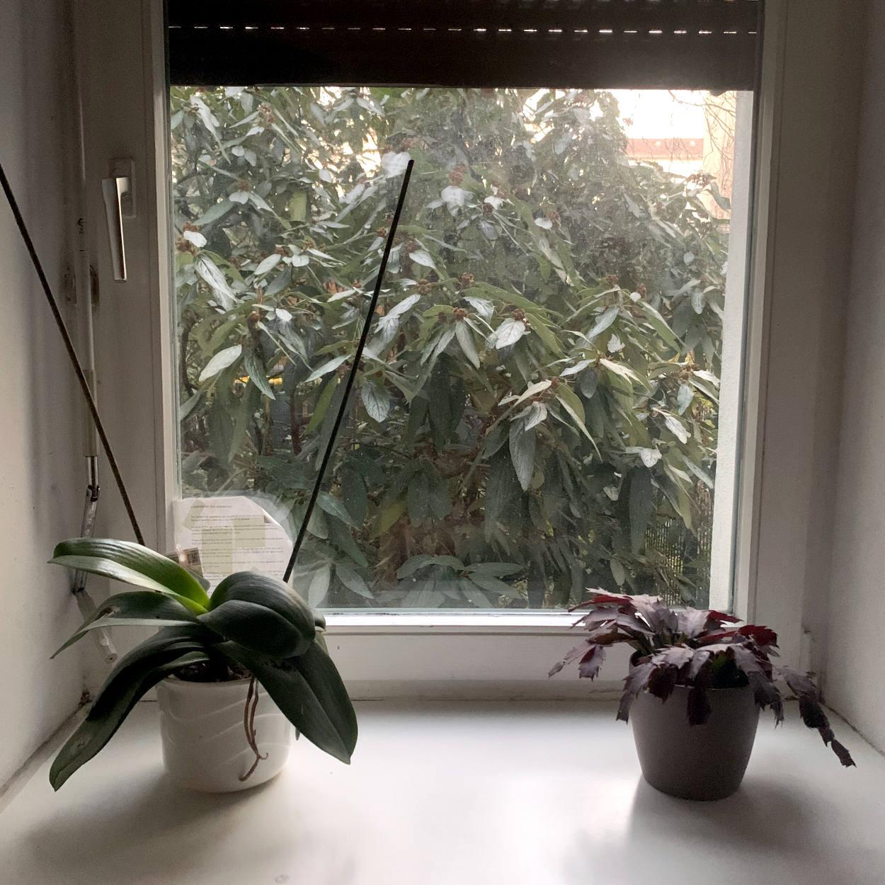Zwei Orchideen auf einer Fensterbank, draußen ein wuchernder Rhododendron.