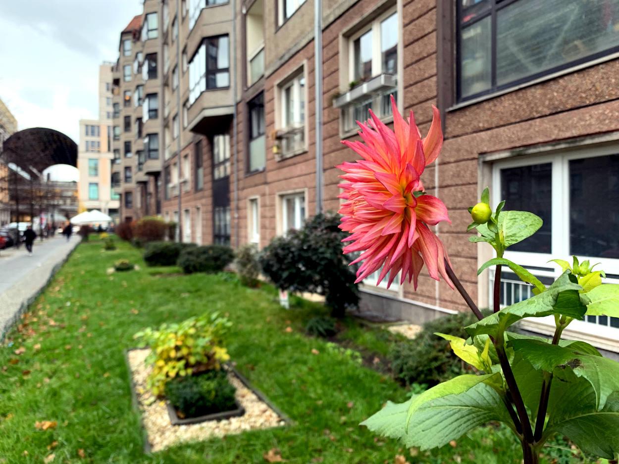 Blühende rosa Dahlie vor einer Reihe Mehrfamilienhäuser