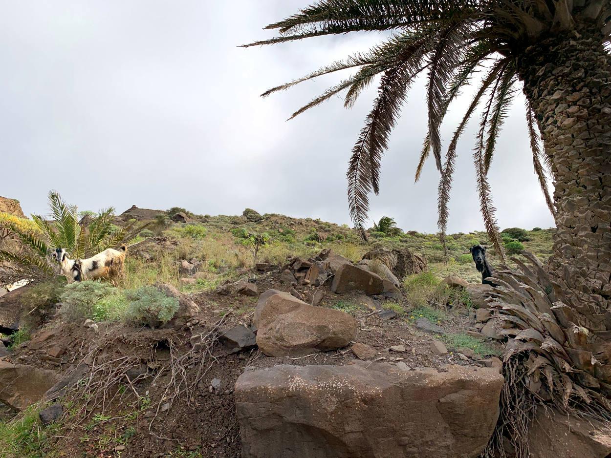 Eine schwarz-weiße und eine schwarze Ziege gucken neugierig hinter Palmen hervor.