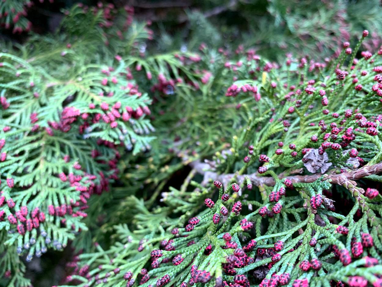 Grüne Nadeln mit roten Spitzen