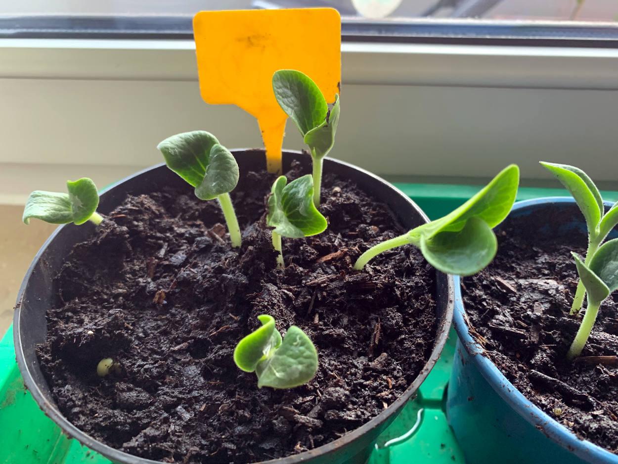 Kürbispflanzen, noch ganz klein