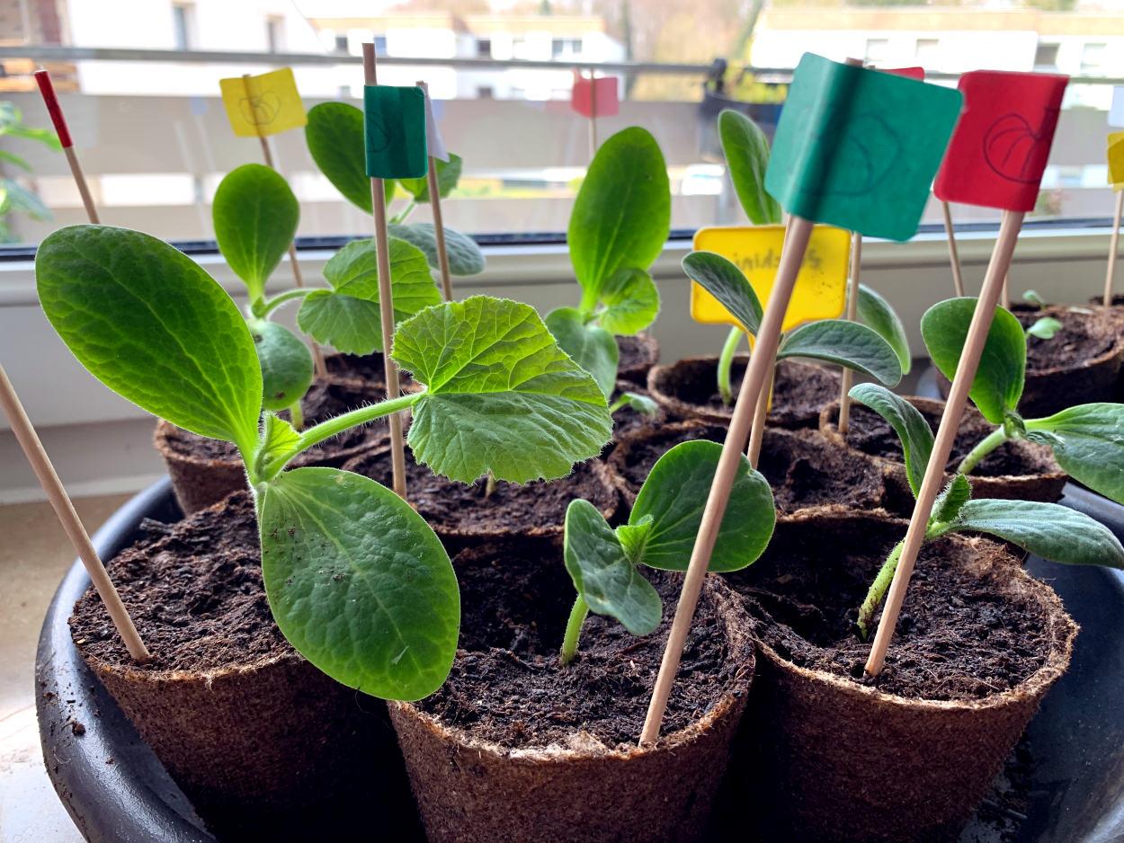 Kürbis und Zucchini in kleinen Anzuchttöpfchen, die meisten schon mit drei Blättern.