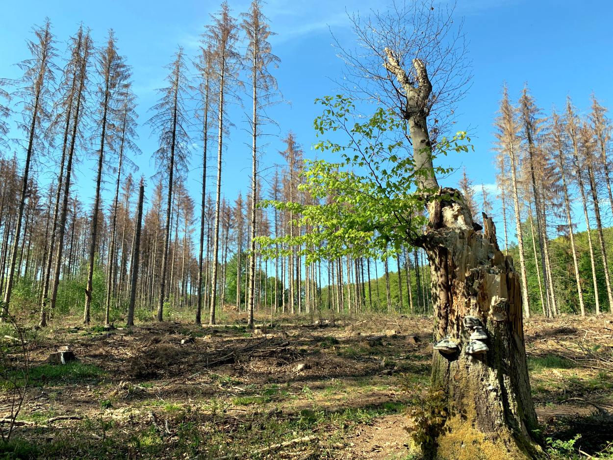 Baumstumpf von einem abgebrochenen Baum, dahinter tote Nadelbäume.