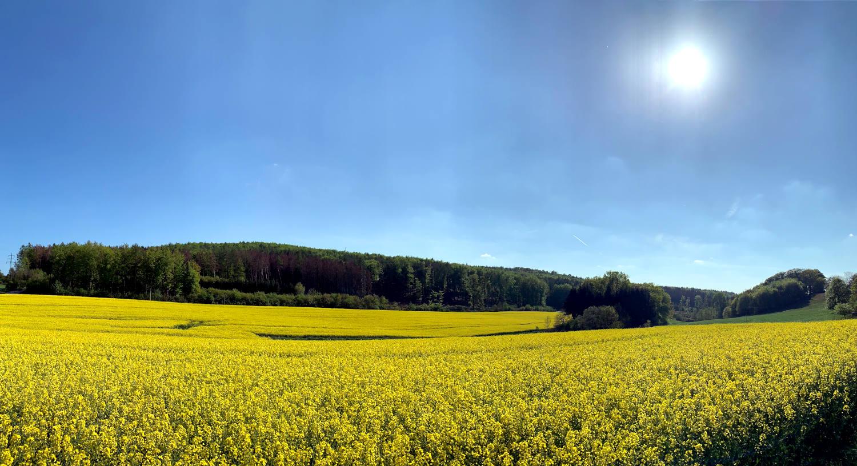 Rapsfeld in der Sonne